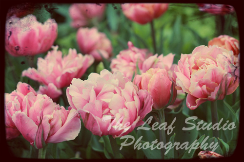 Tulipa 8 x 12 Fine Art Print.Photography.Home Decor.Wall Art.Nursery. FREE shipping